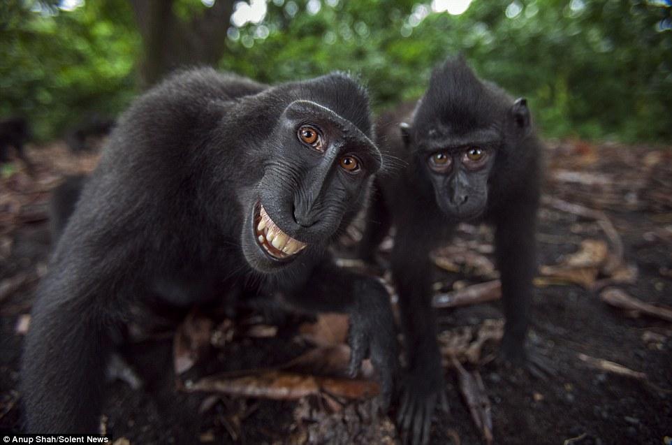 Sungguh Mencuit Hati! Gelagat Spontan Monyet HItam Macaque Apabila Berhadapan Dengan Kamera, Siap Posing Selfie_5c3d4b2656d41.jpeg
