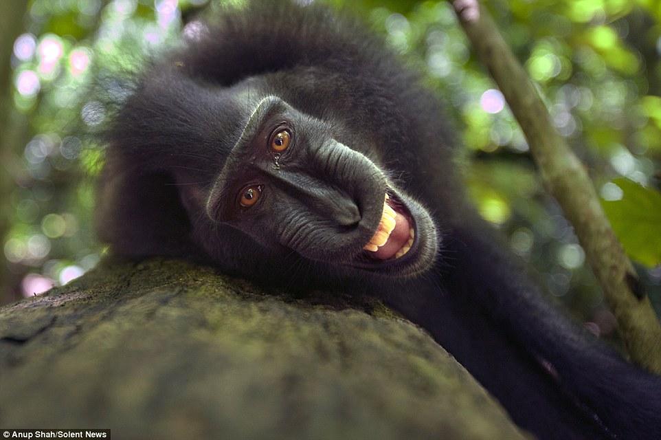 Sungguh Mencuit Hati! Gelagat Spontan Monyet HItam Macaque Apabila Berhadapan Dengan Kamera, Siap Posing Selfie_5c3d4b26b925a.jpeg