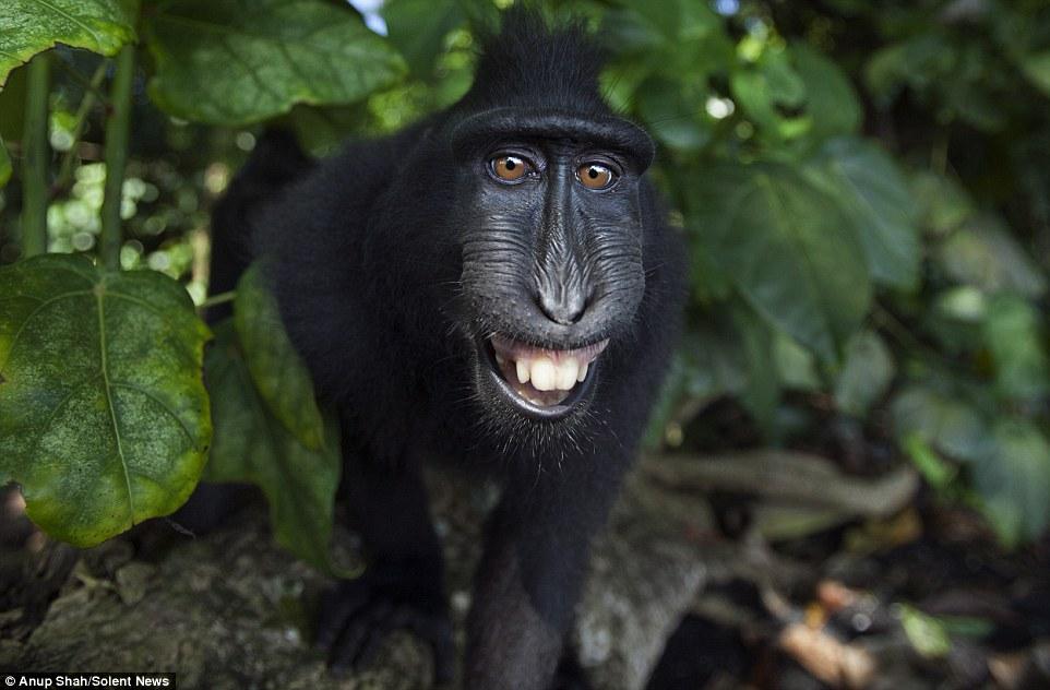 Sungguh Mencuit Hati! Gelagat Spontan Monyet HItam Macaque Apabila Berhadapan Dengan Kamera, Siap Posing Selfie_5c3d4b276b26c.jpeg