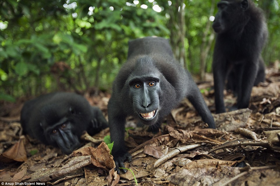 Sungguh Mencuit Hati! Gelagat Spontan Monyet HItam Macaque Apabila Berhadapan Dengan Kamera, Siap Posing Selfie_5c3d4b2825584.jpeg